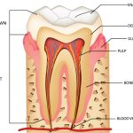 dental pulp gregorin dental anchorage alaska dentist