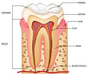dental pulp gregorin dental anchorage alaska dentist